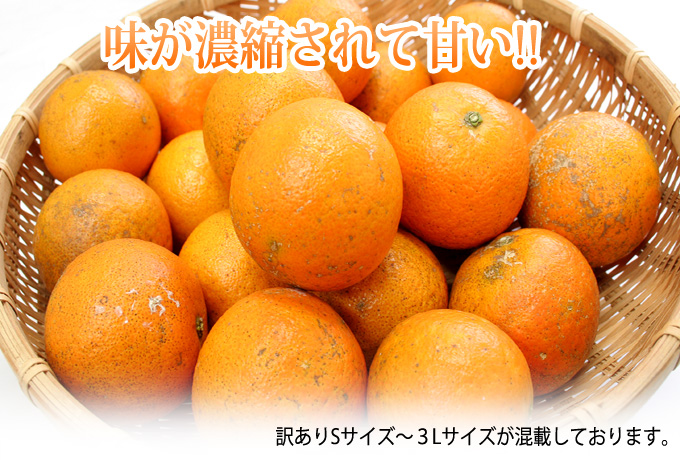 果汁・甘み・旨みがたっぷり詰まった沖縄県産完熟たんかん