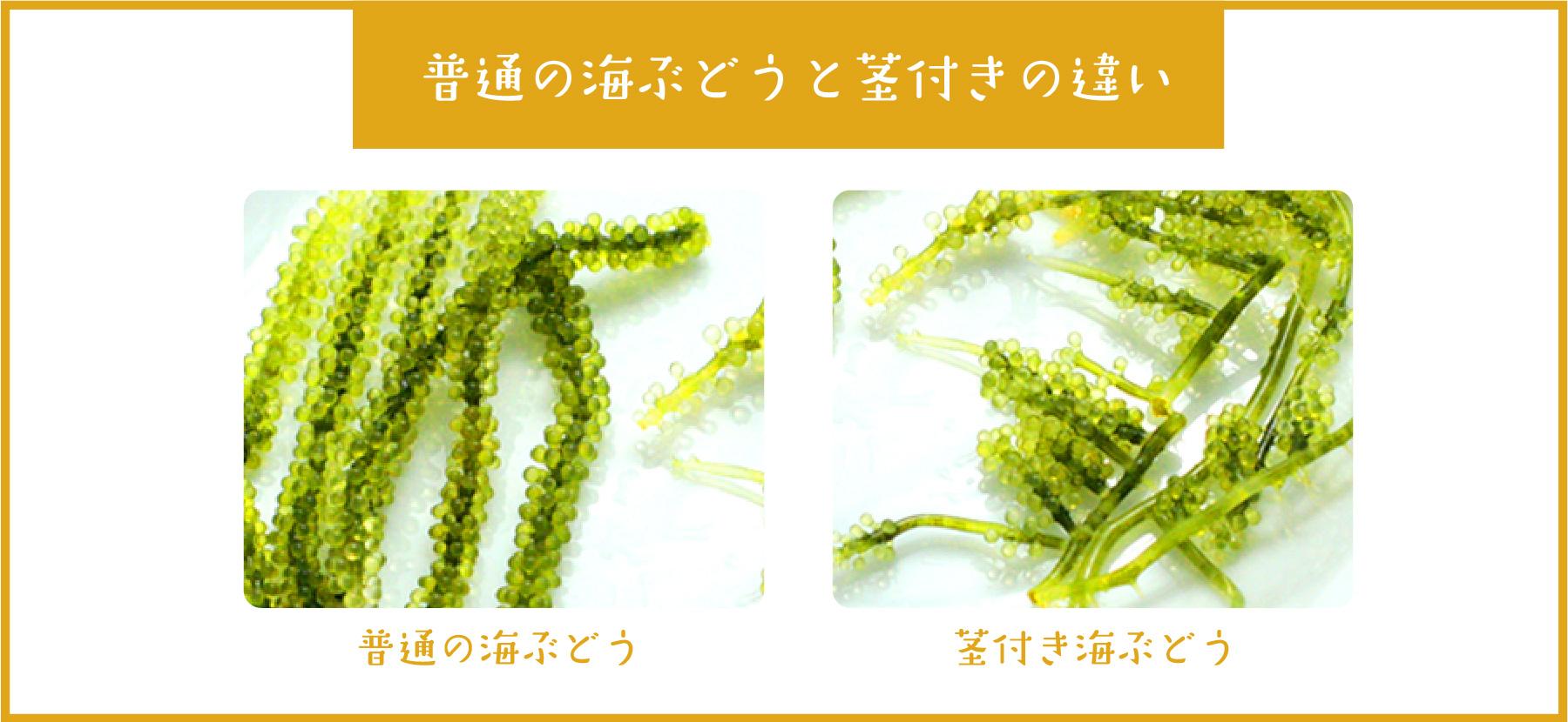 普通の海ぶどうと茎付きの違い